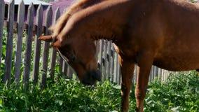 Pferd kaut das Gras stock video
