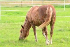 Pferd lässt auf Wiese weiden Stockbilder