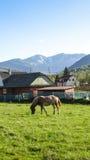 Pferd mit Berg Syvulya auf dem Hintergrund Stockfoto