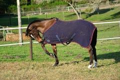 Pferd mit Decke auf Koppel Stockfotografie