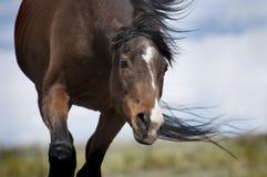 Pferd mit den Ohren zurück festgesteckt Stockbilder
