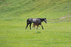 Pferd mit einem Fohlen Stockfotos