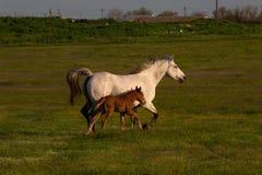 Pferd mit einem Fohlen, das durch die Wiese läuft Sonniger Sommerabend lizenzfreie stockfotografie