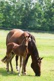 Pferd mit Fohlen Lizenzfreie Stockbilder
