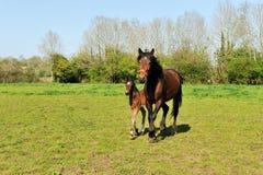 Pferd mit Jungefohlen Lizenzfreie Stockfotografie
