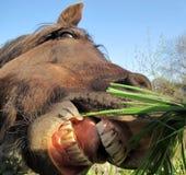 Pferd mit sehr großem geöffnetem Mund Stockbild