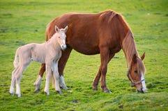 Pferd mit seinem Sohn, der Gras isst Stockbilder