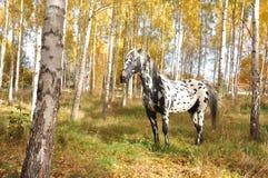 Pferd mit Stellen Stockfotos