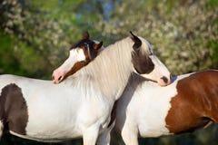 Pferd mit zwei Pinto Stockfotos