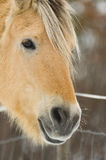 Pferd in Norwegen Lizenzfreies Stockbild