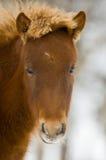 Pferd in Norwegen Stockfotos