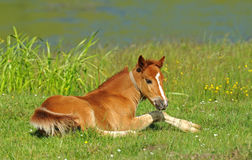 Pferd, spielerisches Kind des Pferds, Fohlen auf einem Rasen Stockfotografie