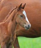 Pferd, spielerisches Kind des Pferds, Fohlen auf einem Rasen Lizenzfreies Stockfoto