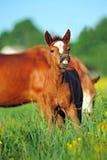 Pferd, spielerisches Kind des Pferds, Fohlen auf einem Rasen Stockbilder