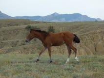 Pferd starrt nahe dem Meganom-Kap, Krim an Stockbilder
