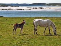 Pferd u. Fohlen Stockbilder