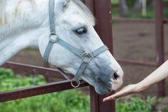 Pferd und die Frau ` s Hand stockfoto