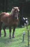 Pferd und eine Kuh auf einer Wiese Stockfotos