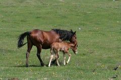 Pferd und Fohlen Lizenzfreies Stockfoto