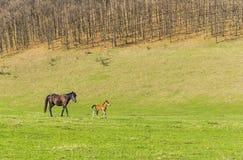 Pferd und Fohlen auf einer Weide Lizenzfreie Stockbilder