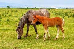 Pferd und Fohlen auf einer Wiese Stockbilder