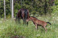 Pferd und Fohlen, die Gras essen Stockbild