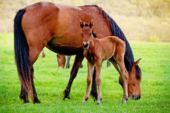 Pferd und Fohlen in einer Wiese Lizenzfreies Stockfoto