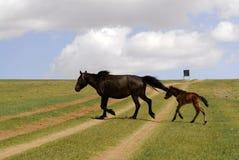 Pferd und Fohlen in Mongolei Stockbild