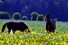Pferd und gelbe Blumen Stockfoto