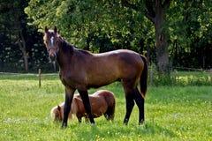 Pferd und Pony in der Wiese Stockbilder