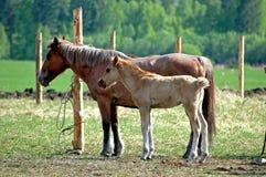 Pferd und Stallion Stockfotos