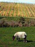 Pferd und Weinberg Lizenzfreie Stockfotos