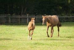Pferd und wenig Fohlen auf Weide Stockbild
