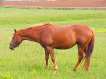 Pferd und Wiese Stockfotografie