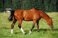 Pferd, Val Visdende, Italien, Juli 2007 Stockbild