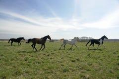 Pferd vier, das auf dem Gebiet scherzt Stockfotografie