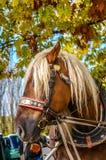 Pferd vorgespannt zum Wagen Lizenzfreie Stockbilder
