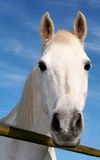 Pferd, weiß Lizenzfreies Stockbild