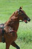 Pferd während des Trabrennens Stockbild