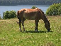 Pferd wird auf sonniger Wiese weiden lassen Porträt der jungen Frau auf Weiß Sommer See Baikal Stockfotografie