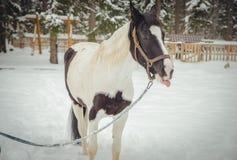 Pferd zeigt Sprache, Detail Lizenzfreie Stockfotografie