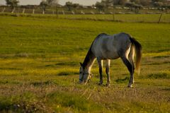 Pferd zum weiden zu lassen Lizenzfreies Stockbild