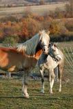 Pferde Stockfotografie