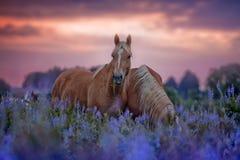 Pferde auf dem Blumengebiet bei Sonnenaufgang Lizenzfreies Stockfoto