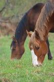 Pferde auf dem Feld lizenzfreie stockfotografie
