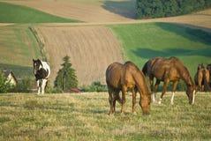 Pferde auf dem Feld stockfotos