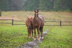 Pferde auf dem Gebiet Lizenzfreies Stockbild