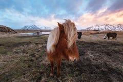 Pferde auf dem Gebiet am Winter im Sonnenuntergang Lizenzfreie Stockbilder