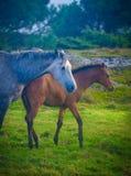 Pferde auf dem grünen Gebiet Lizenzfreie Stockfotos