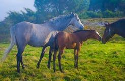 Pferde auf dem grünen Gebiet Lizenzfreies Stockbild
